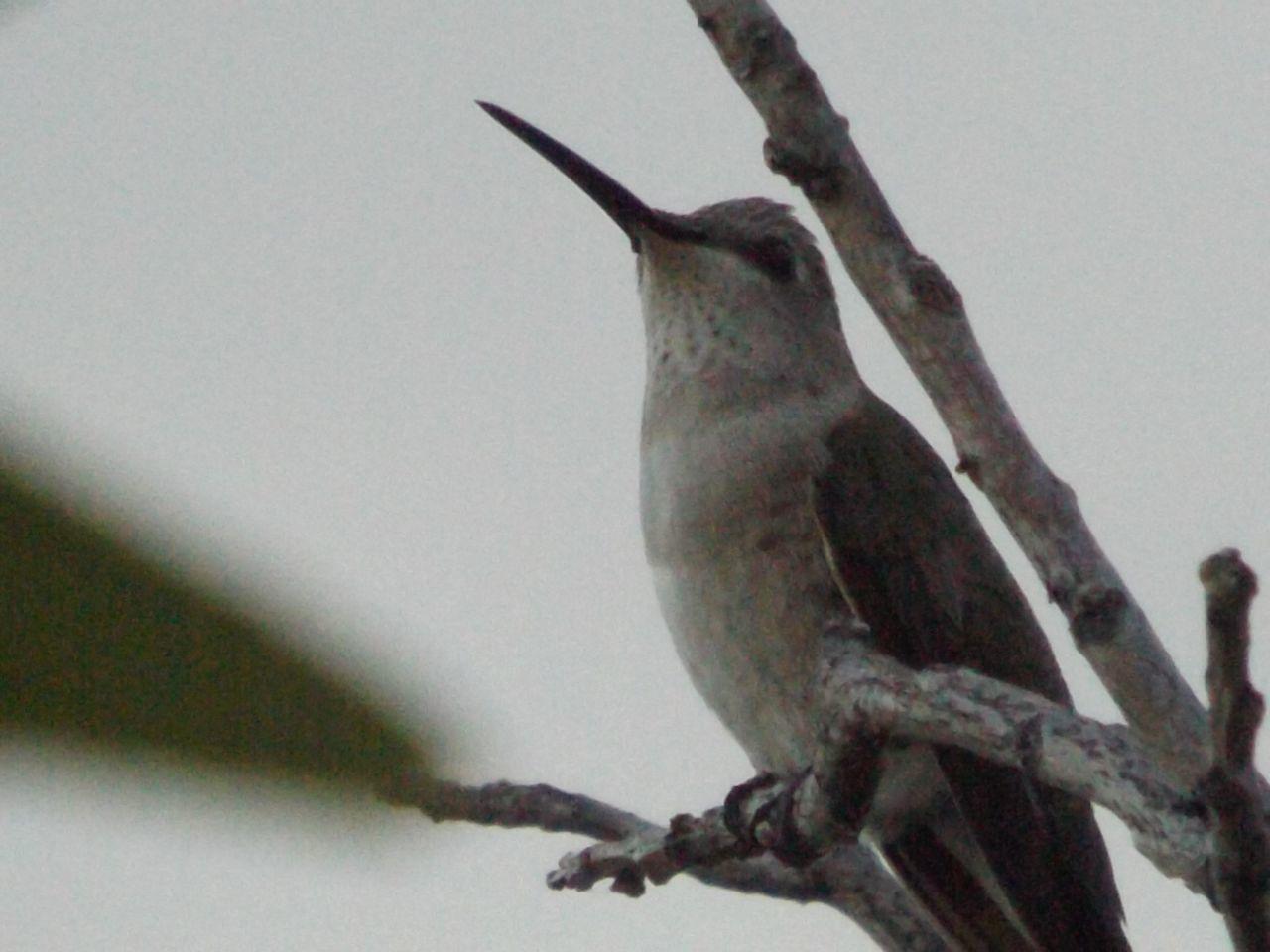 The Purist (no Edit, No Filter) Hummingbird