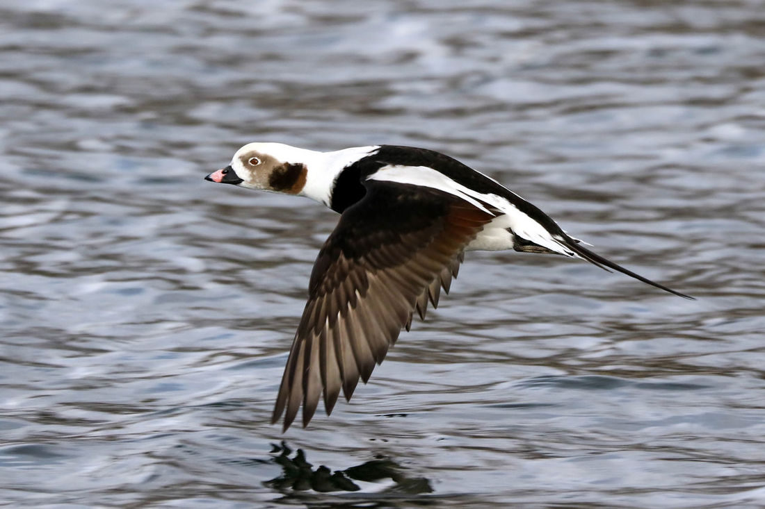 Long-Tailed Duck EyeEm Best Shots EyeEm Nature Lover Animal Themes Animal Wildlife Animals In The Wild Beak Bird Close-up Day Duck Eye4photography  Focus On Foreground Lake Long-tailed Duck Nature No People One Animal Outdoors Spread Wings Water Water Bird Waterfront