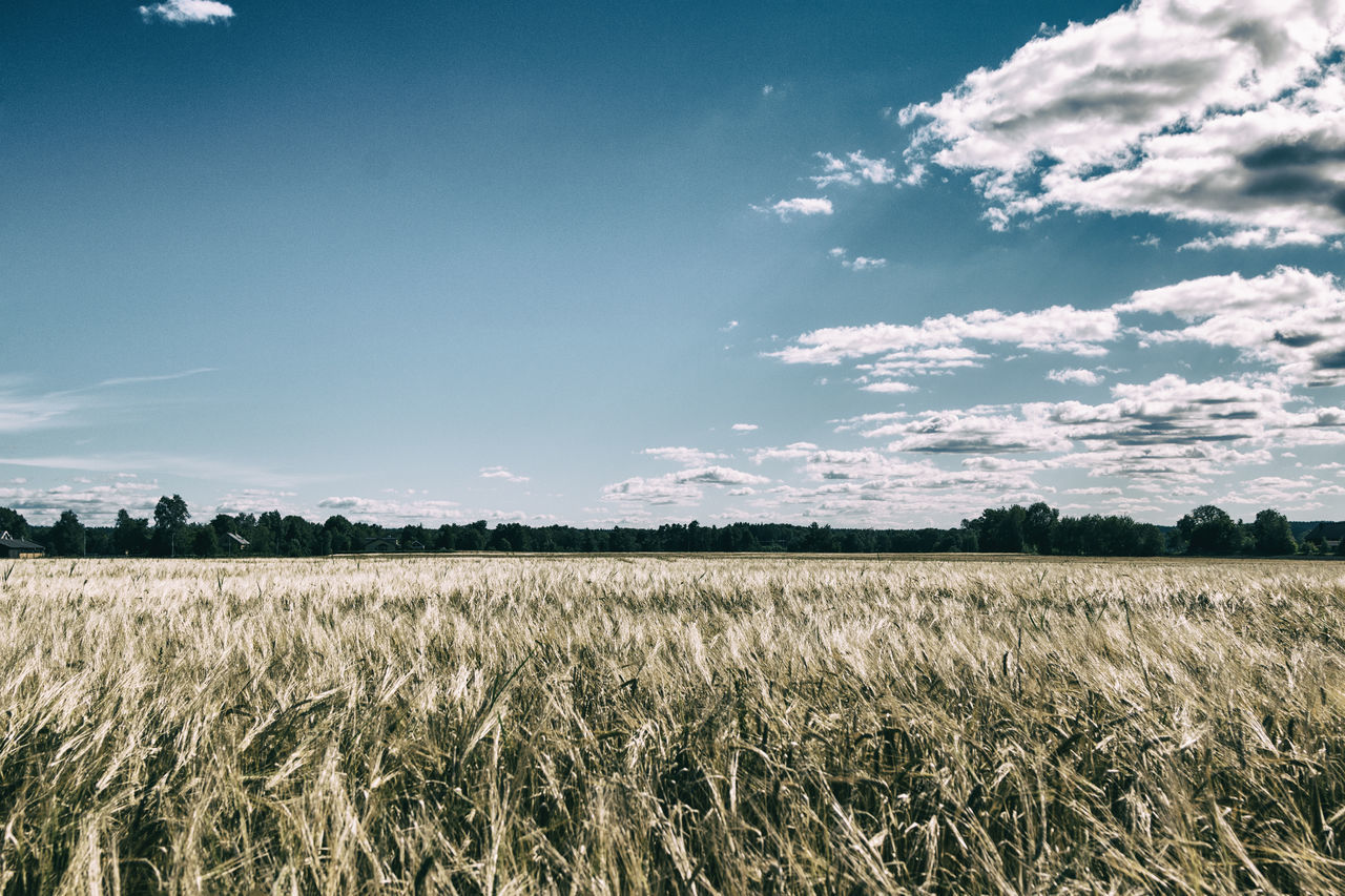 field, agriculture, sky, landscape, nature, tranquility, growth, day, no people, scenics, beauty in nature, tranquil scene, outdoors, rural scene, cereal plant, tree