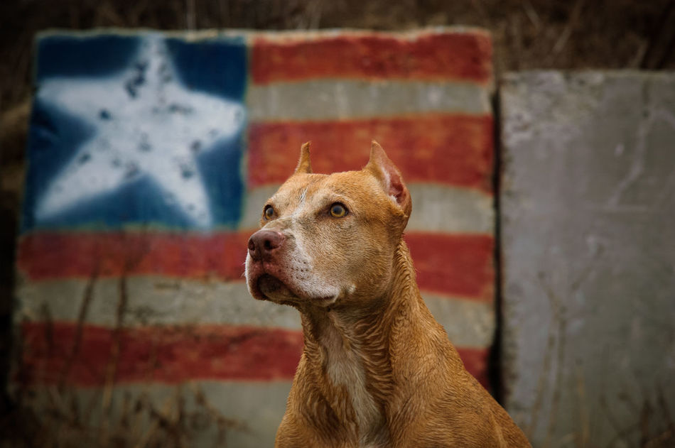 American Flag American Pit Bull Terrier, Animal Animal Head  Dog, Focus On Foreground Graffeti No People Outdoors Pets Pitbull Terrier First Eyeem Photo