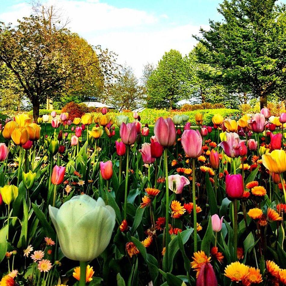 Flowers everywhere ??????? #flower #park #garden #dutch #jj #jj_forum #ubiquography #holland #keukenhof Garden Flower Holland Park Dutch Jj  Keukenhof Jj_forum Ubiquography O2travel