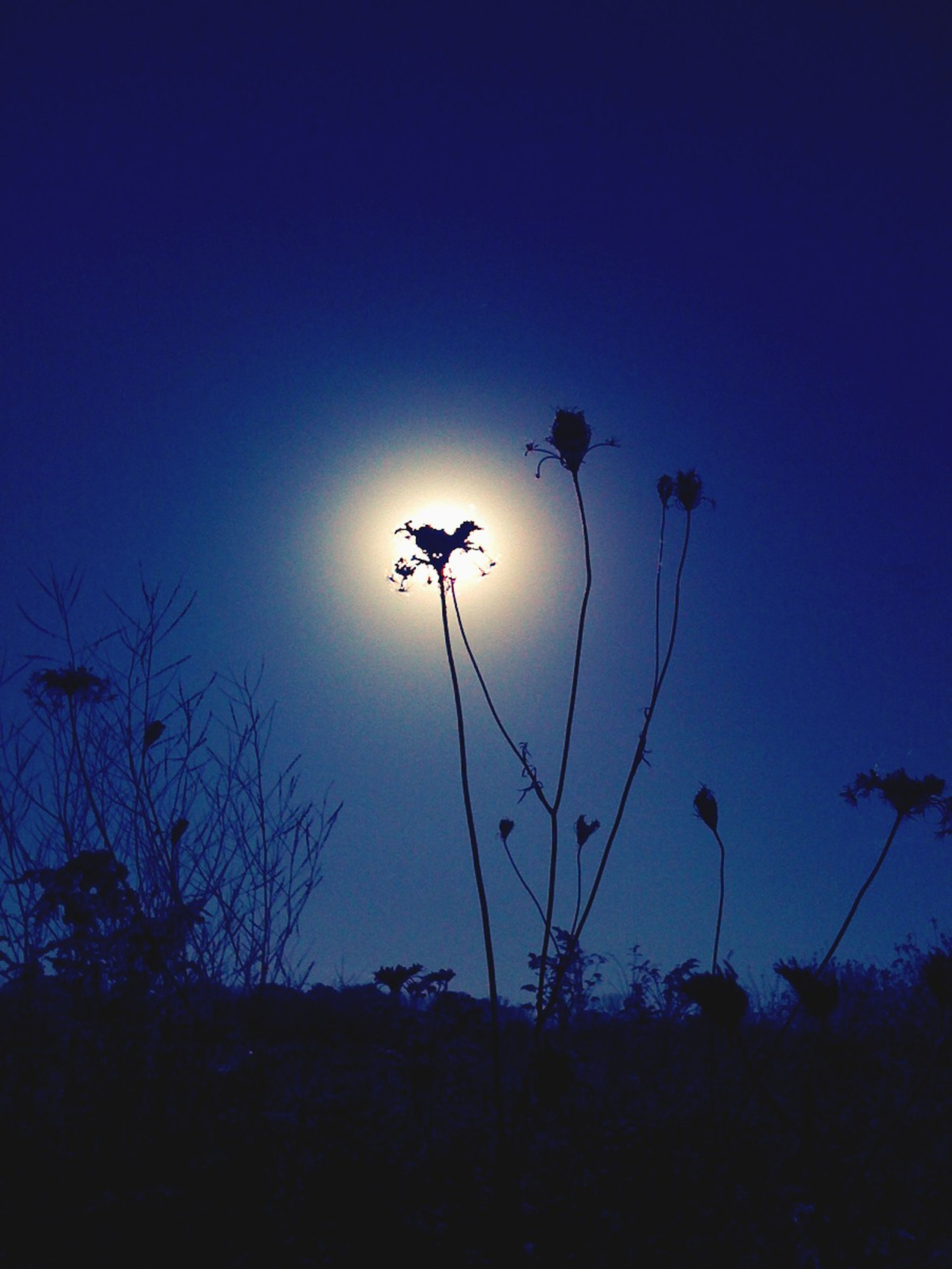 flower, growth, plant, stem, beauty in nature, nature, blue, silhouette, sky, low angle view, clear sky, sunset, fragility, tranquility, copy space, freshness, dusk, field, tranquil scene, no people