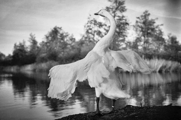 Swan Standing Swan White Swan Spreading Its Wings Swan Spreading Its Wings Swan Stretching Black&white Swan Nature_collection B&w Photography B&W Collection B&w Nature Stretching Out B&W Collection Nature Park  Lelystad Natuurpark Lelystad, The Netherlands Lelystad Nature Park The Netherlands Holland Holland The Netherlands Bird Stretching It's Wings White Bird Stretching It's Wings Canon 30d Canon 30D Semi Professional Camera