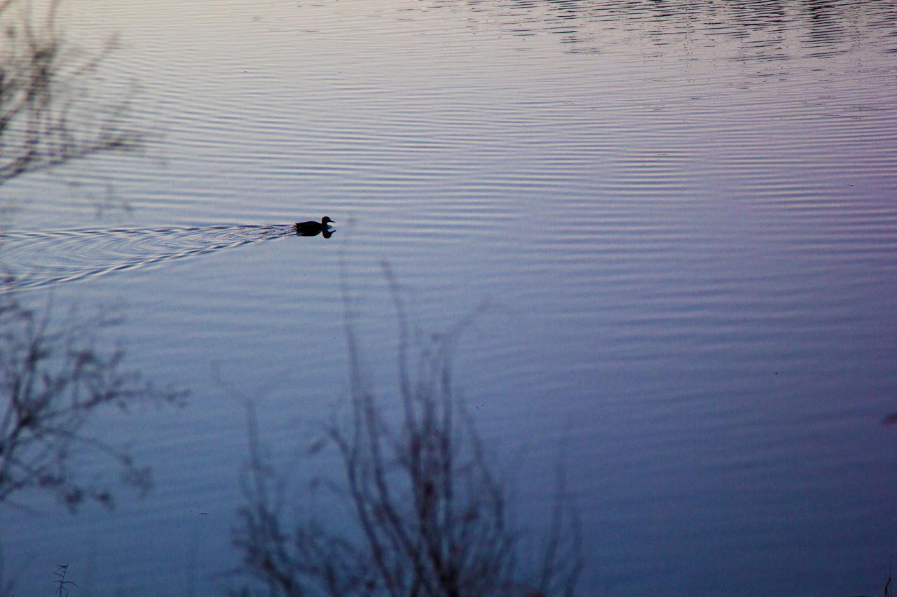 Acqua Calma Duck Lago Lake Nuotare Papera Serenity Serenità Stagno Tranquillità