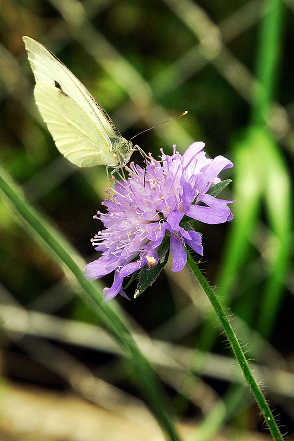 Butterflycatchers