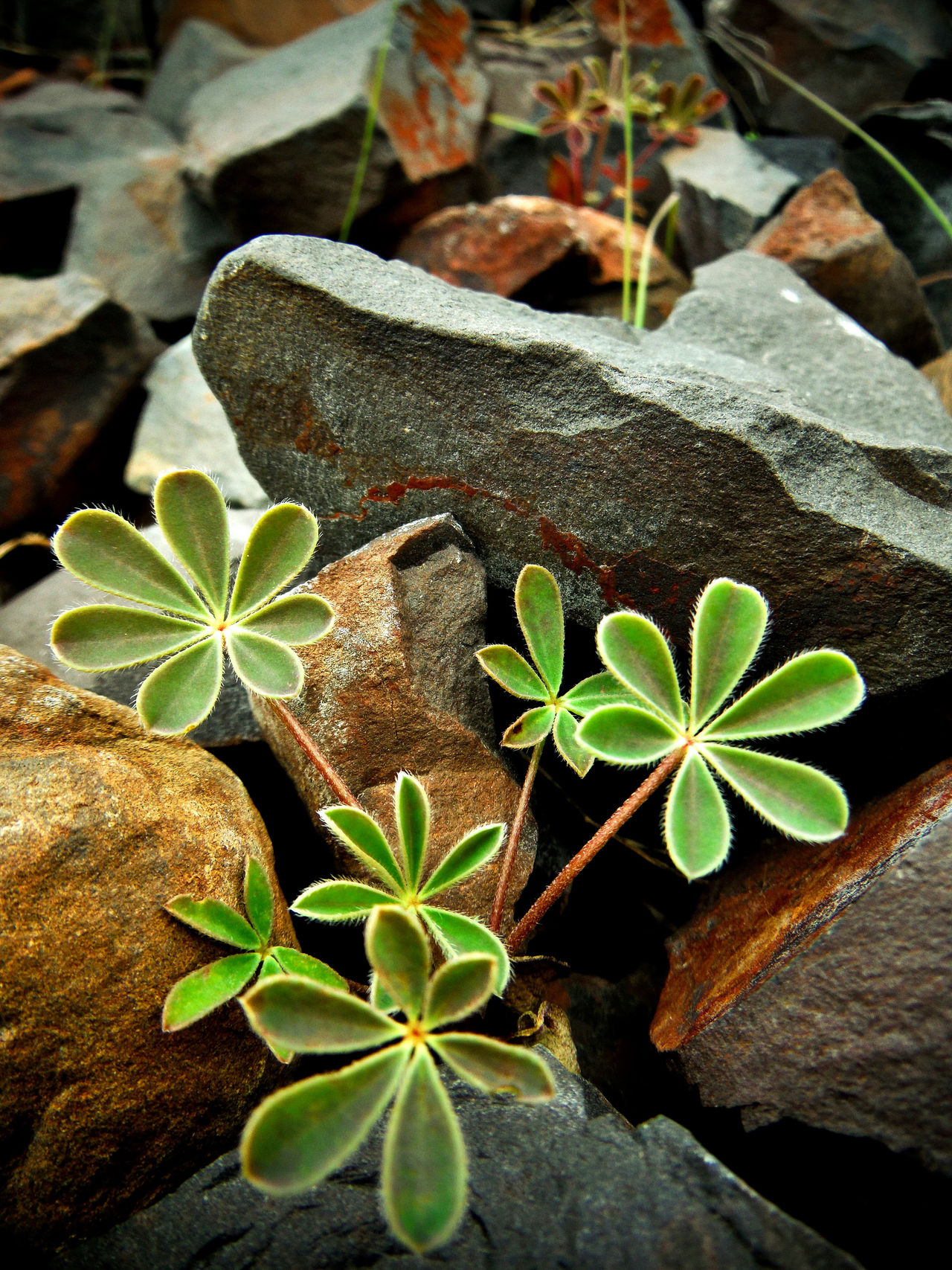 Leaf Plant Growth Nature Close-up Green Color Leaves Freshness Pretty Plant Little Plants Fuzzy Plant Green Color Green Plant Cute Plant Plant And Stone Rock And Plant Arrangement Growing Growing Plants Fragility Black Butte Black Butte California Beauty In Nature Decorative