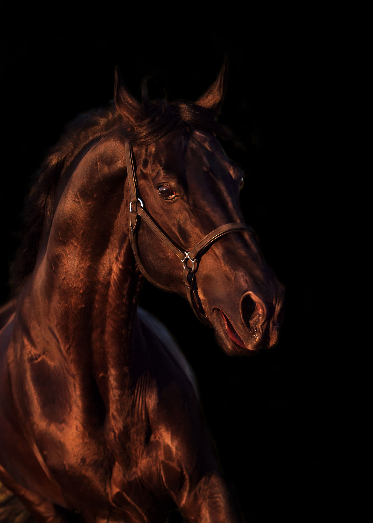 Beautiful Black Emotion Equestrian Horse Isoalated Motion Run Sportive Stallion