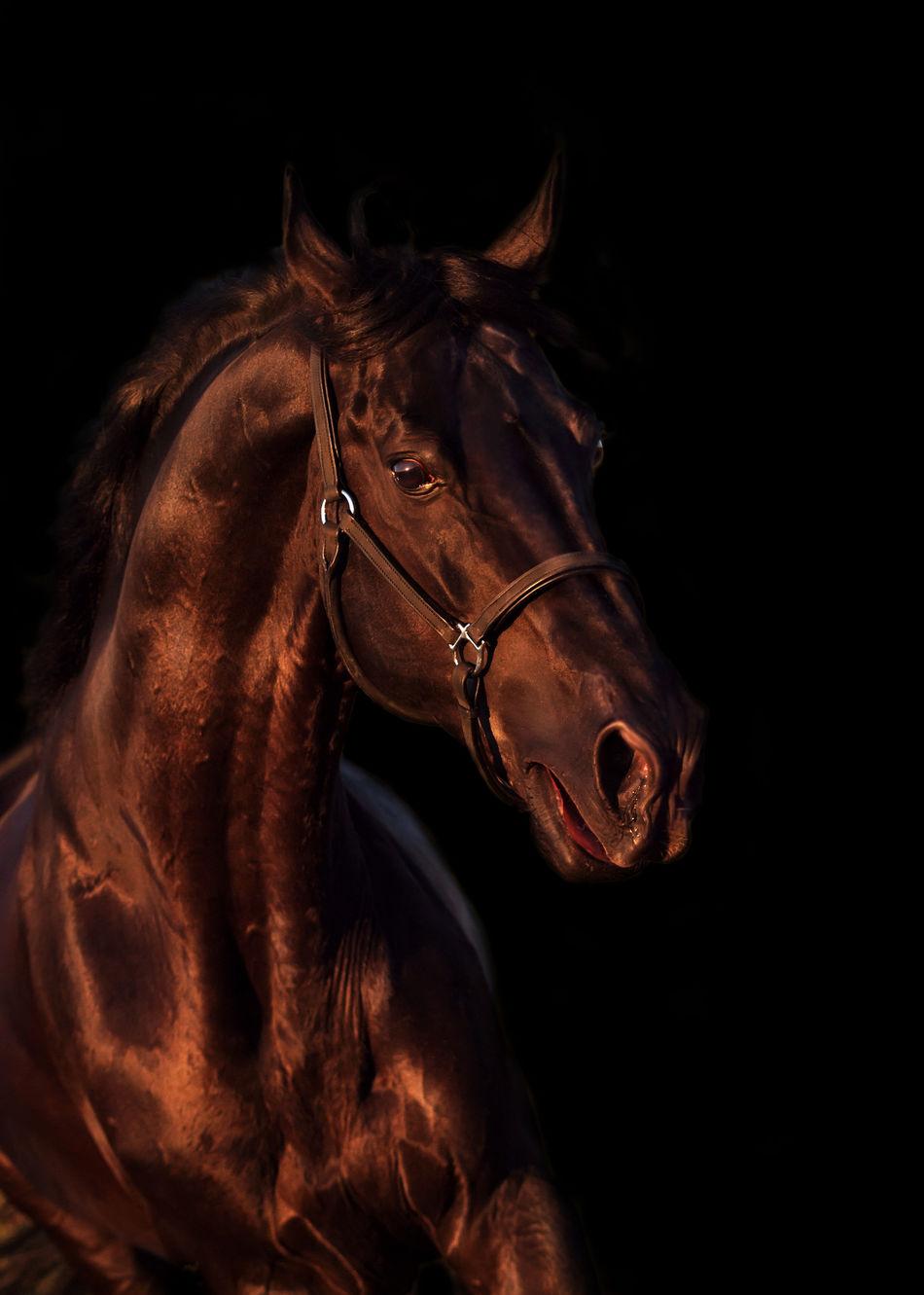 Beautiful Black Emotion Equestrian Horse Isoalated Motion Run Sportive Stallion