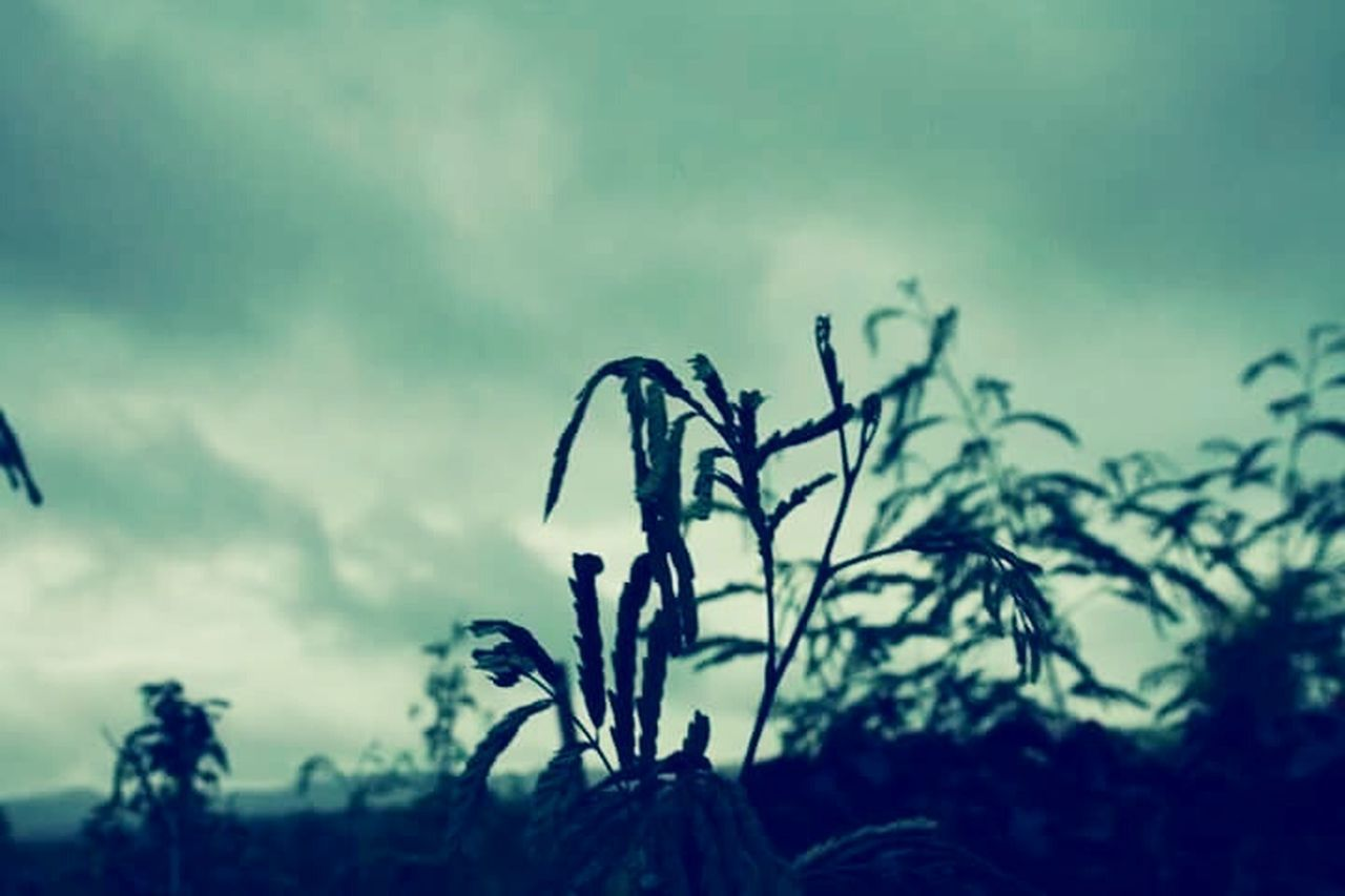 nature, plant, growth, sky, outdoors, focus on foreground, no people, silhouette, beauty in nature, day, close-up