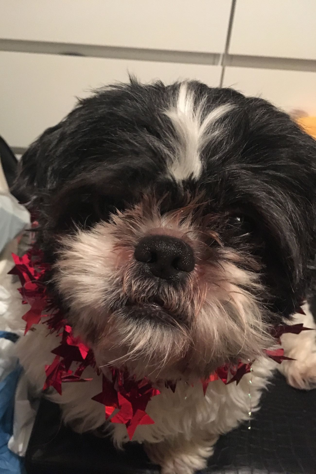 Domestic Animals Pets Dog Animal Themes One Animal Mammal Animal Hair Home Interior Indoors  No People Close-up Day Shih Tzu Shihtzu Tinsel  Christmas