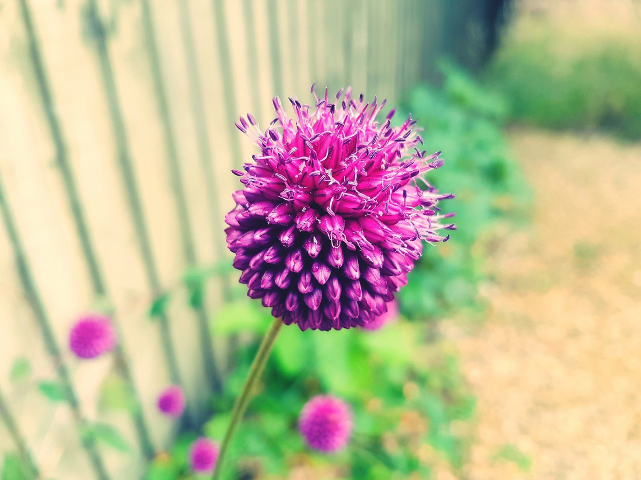 flower, fragility, beauty in nature, petal, nature, growth, freshness, flower head, no people, plant, purple, day, blooming, focus on foreground, close-up, pink color, outdoors, animal themes