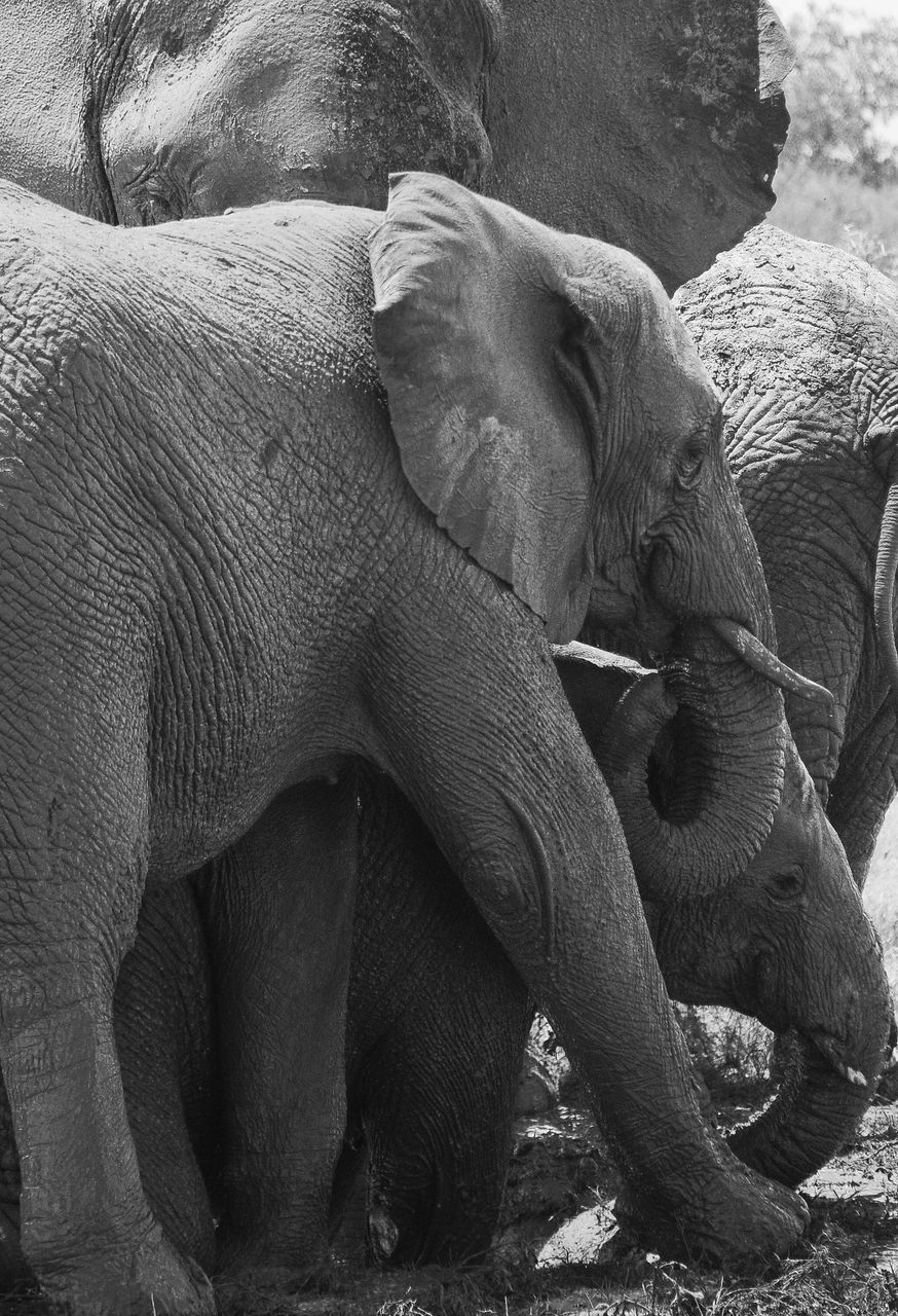 elephant, mammal, animal themes, togetherness, day, indoors, close-up, human body part, people