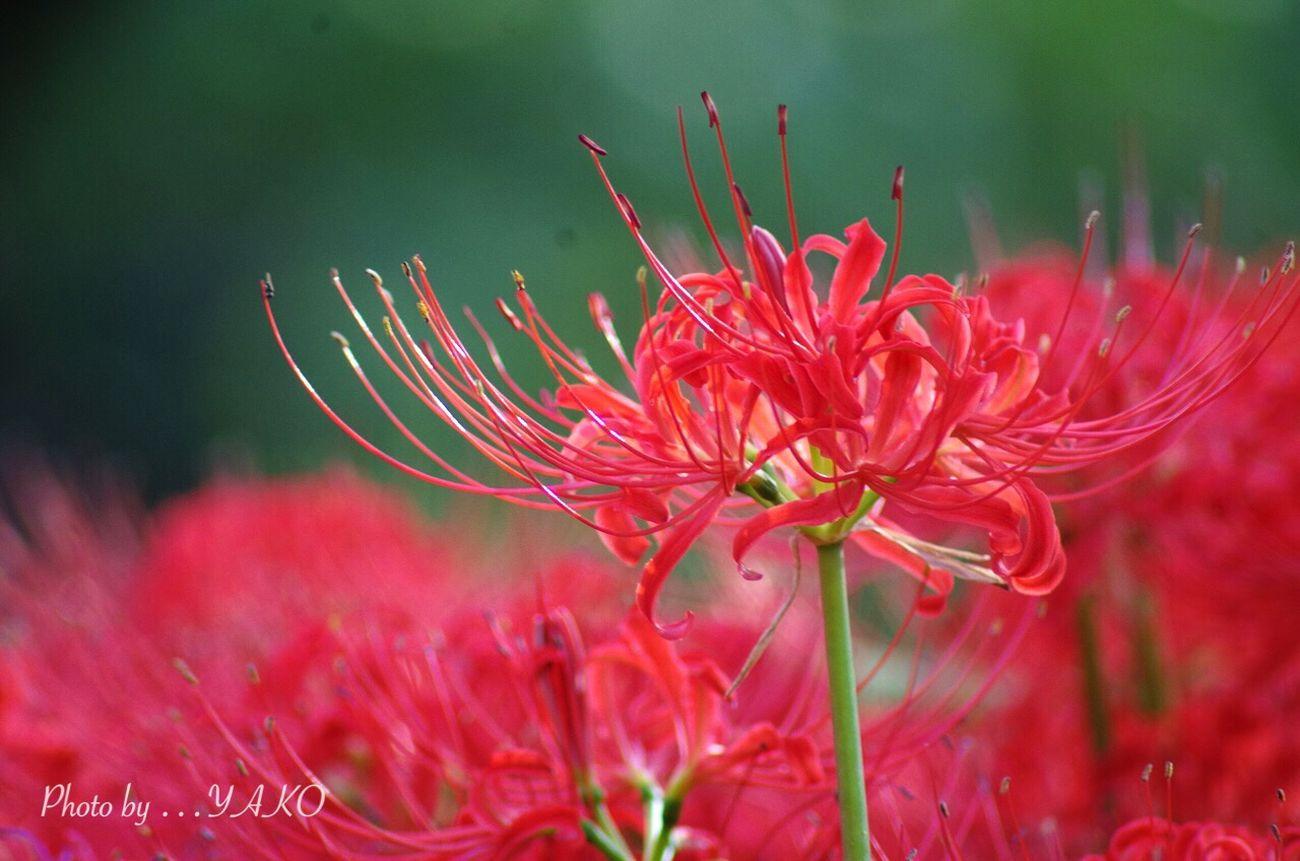 燃えるような赤の世界に溶けてしまいそう… 郷土の森 Autumn Colors 曼珠沙華 彼岸花