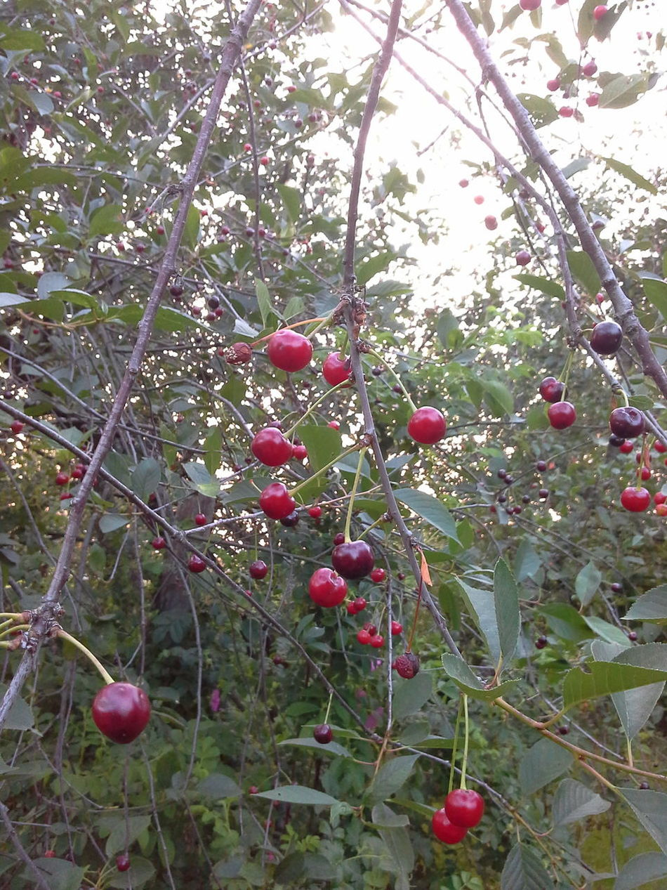Вишневый микс!!! Cherry Mix Cherry Fruits Nature_collection Nature Photography EyeEm Best Shots - Nature EyeEm Nature Lover Natural Beauty Summer ☀
