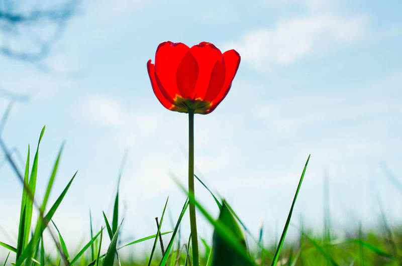 The Great Outdoors - 2016 EyeEm Awards Tulip Tulips Flowers Spring Springtime Spring Flowers Blue Blue Sky Nature Outdoors Red Red Flower Outdoor Photography Celebration Day Sunny Day Nature_collection Light And Shadow