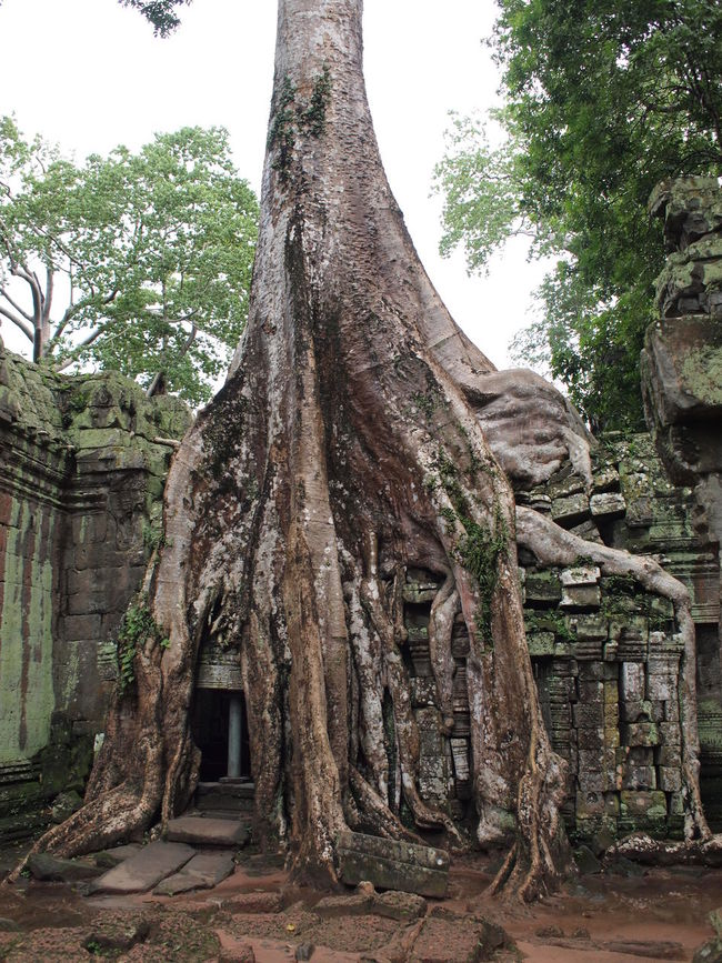 Ta Prohm temple ruins at Angkor Silk-cotton Tree Angkor Architecture Cambodia Jungle Khmer Nature No People Overgrown Roots Ruins Strangler Fig Ta Prohm Temple Travel Photography Tree