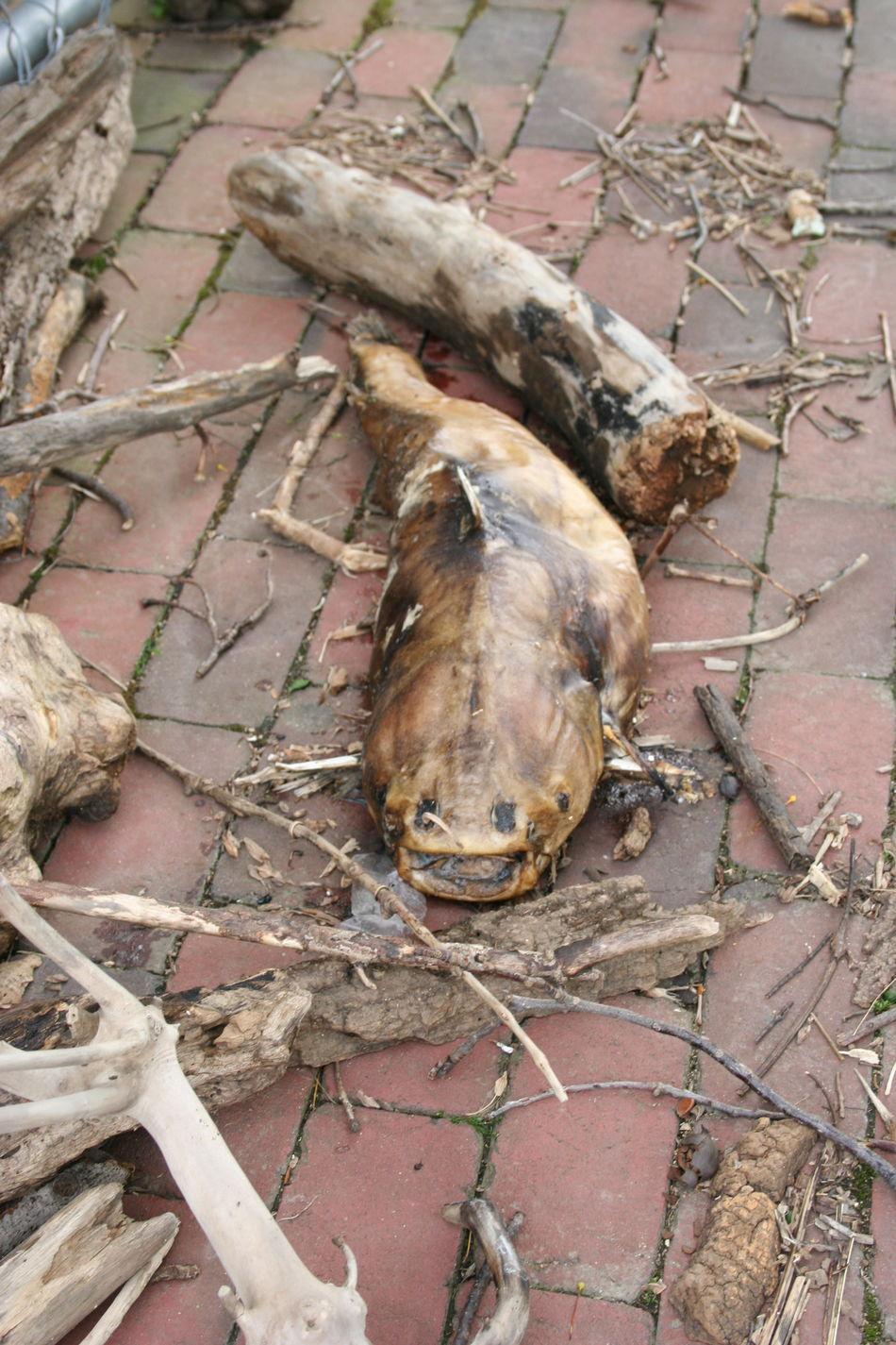 Outdoors Fish Catfish Dead Fısh Arlington, Virginia Driftwood Bricks