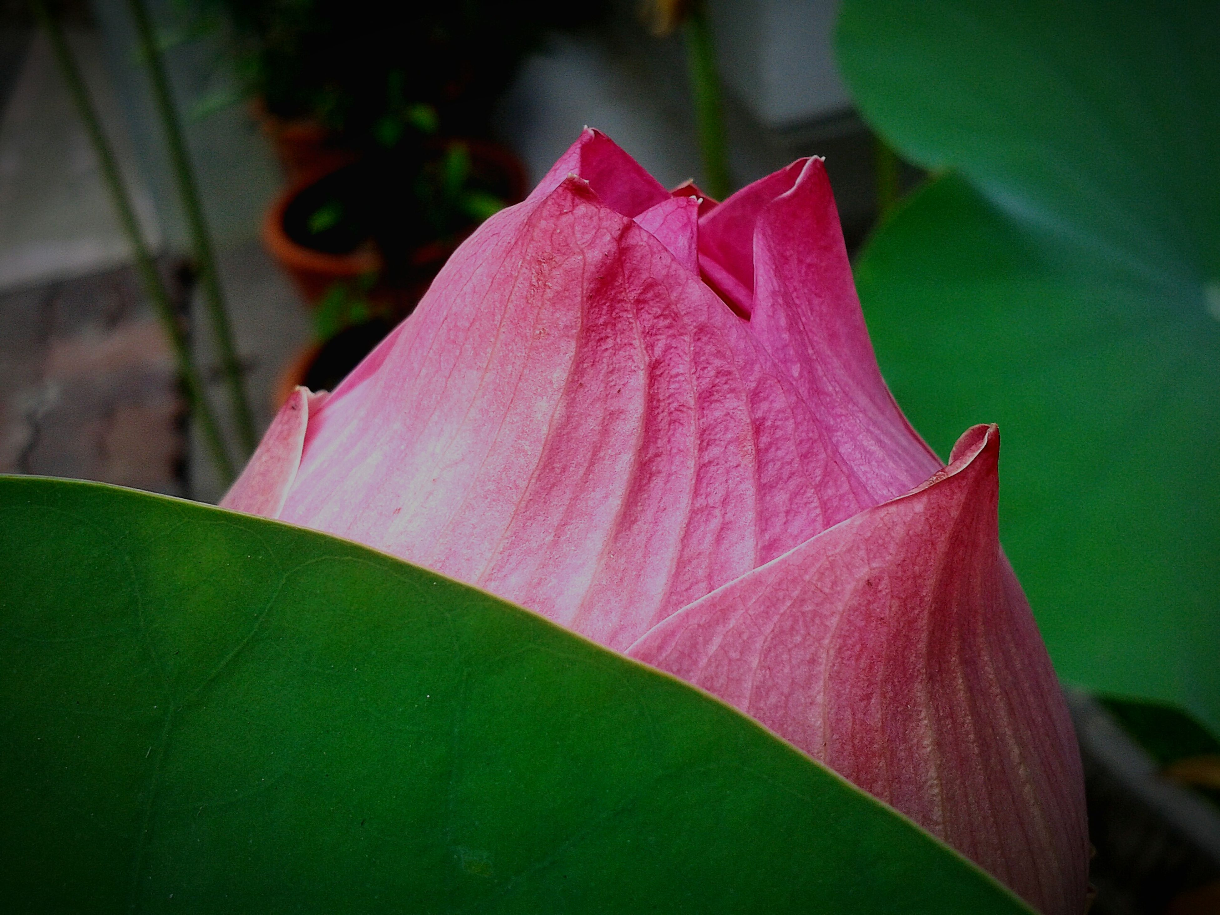 pink color, leaf, flower, growth, close-up, focus on foreground, freshness, fragility, red, petal, plant, beauty in nature, nature, green color, pink, selective focus, flower head, bud, outdoors, day