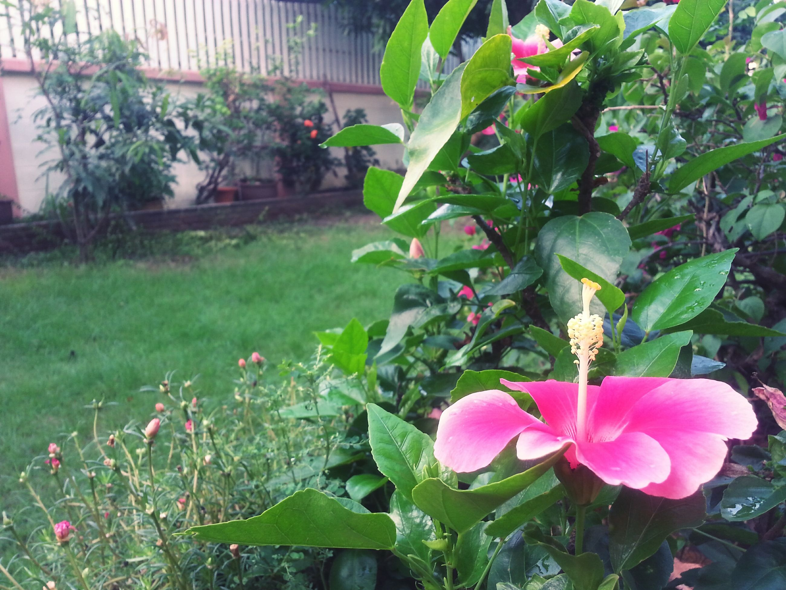 flower, freshness, growth, fragility, plant, petal, leaf, beauty in nature, pink color, blooming, nature, green color, flower head, in bloom, blossom, day, park - man made space, close-up, outdoors, front or back yard