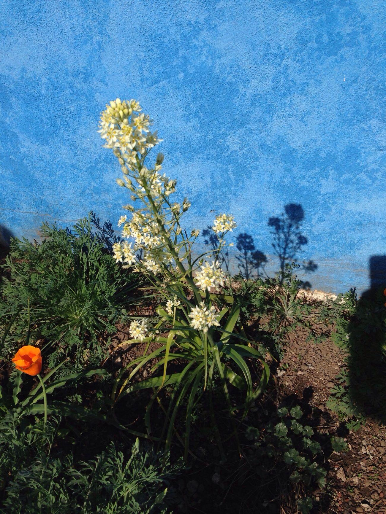Enjoying Life California Poppy Star Lily Flower