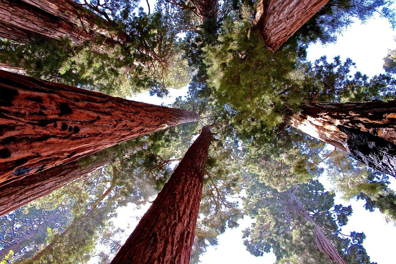 Beautiful stock photos of california, Day, Directly Above, Famous Place, Giant Sequoia