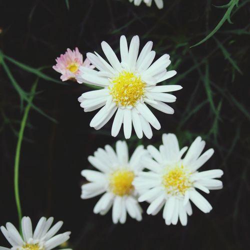 Daisy Flower Flowerporn Garden