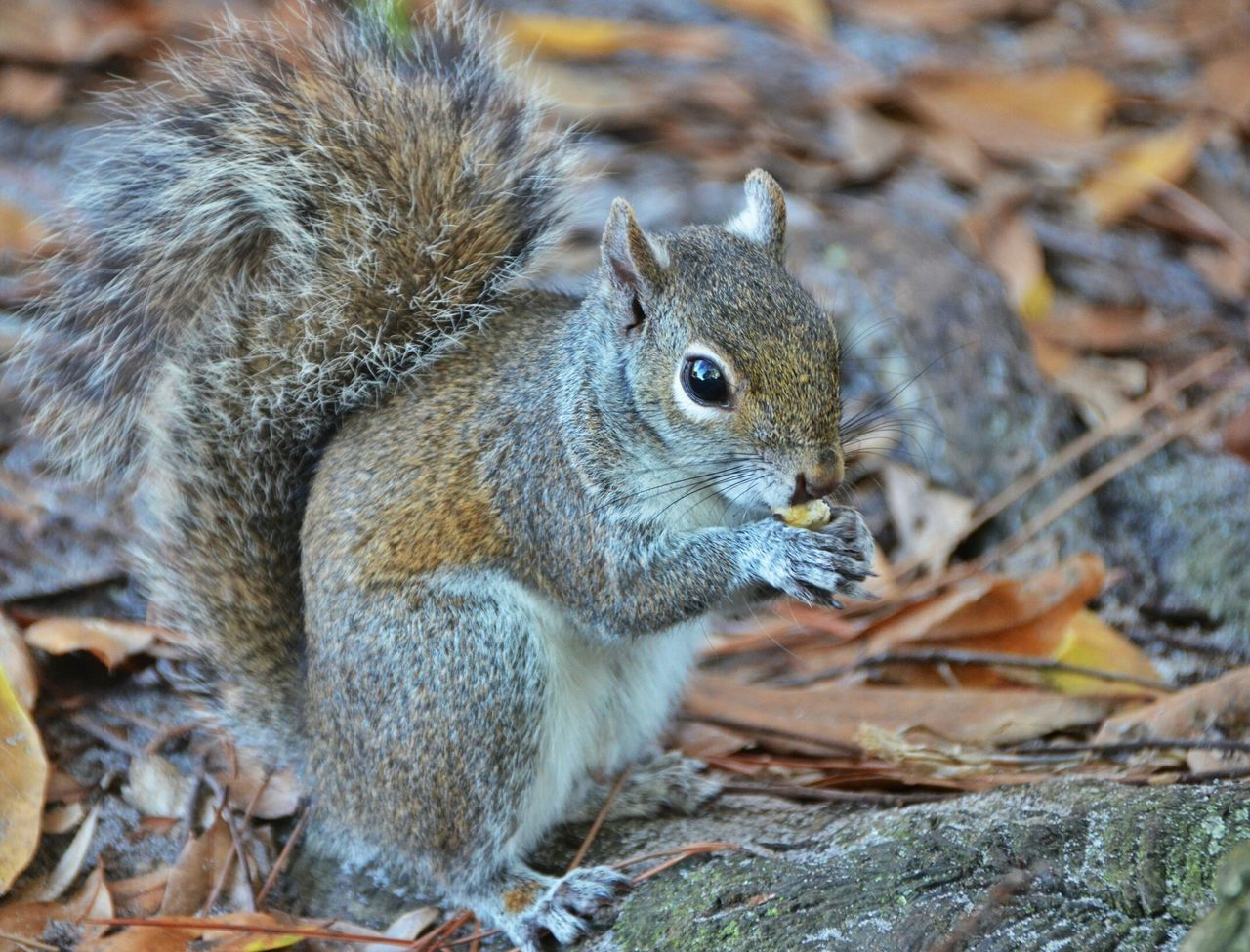 Beautiful stock photos of squirrel, Animal Themes, Animals In The Wild, Close-up, Day