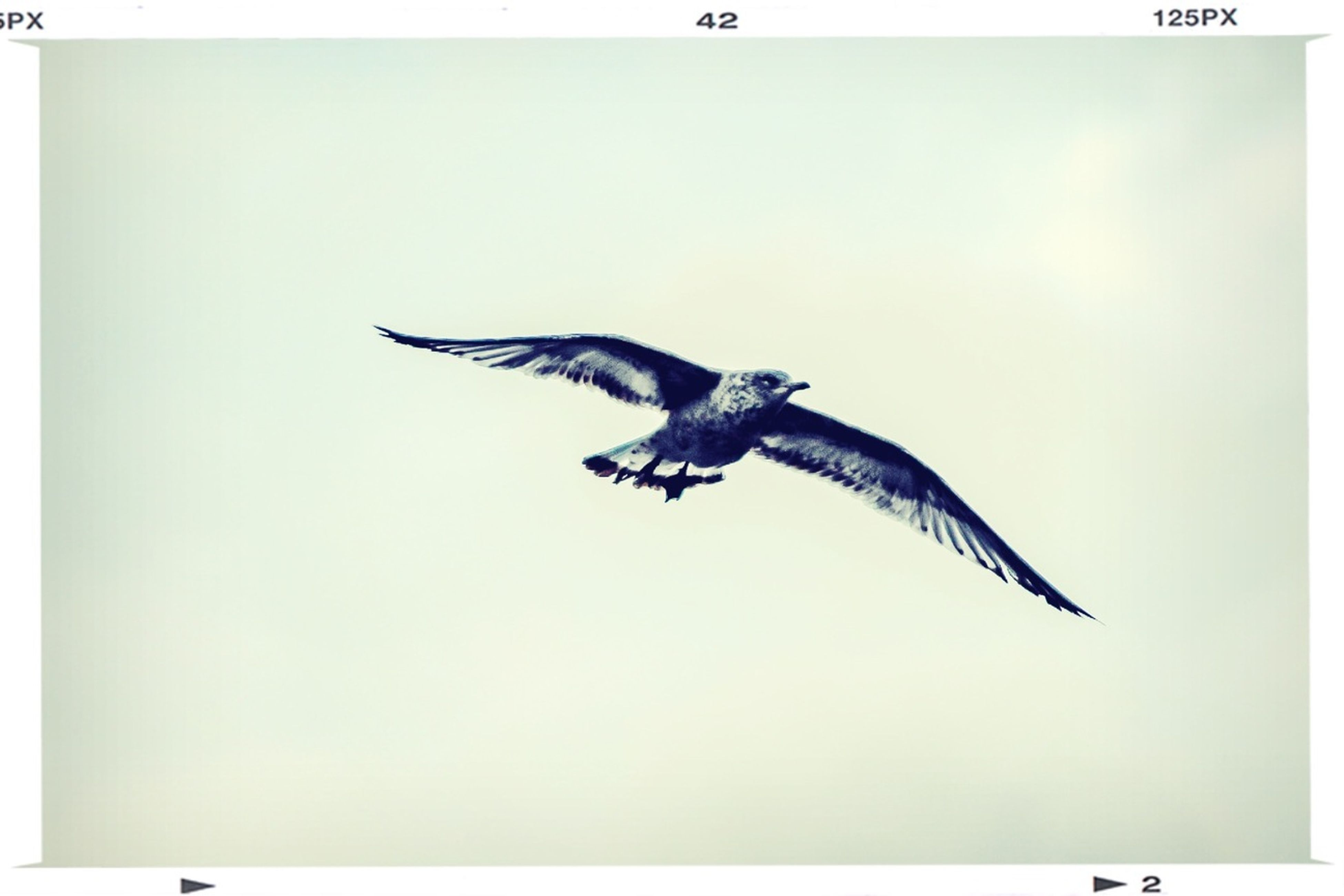 animal themes, bird, one animal, animals in the wild, spread wings, wildlife, flying, clear sky, transfer print, copy space, seagull, auto post production filter, full length, mid-air, low angle view, sky, nature, side view, animal wing, zoology