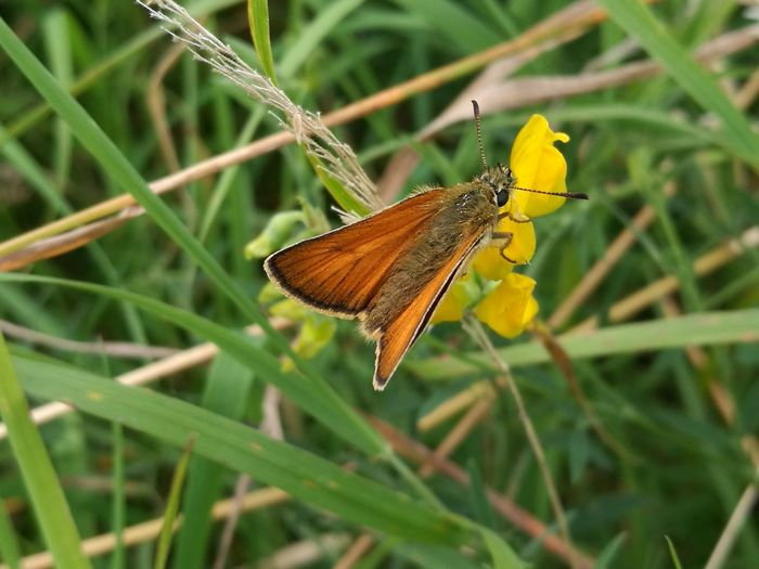 Moth Large Skipper Moth Moth On Flower Orange Moth Orange Winged Orange Winged Moth Moth On Yellow Flower Large Skipper