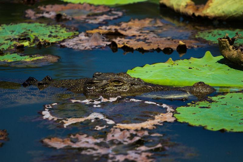 Animals In The Wild Australia Beautiful Creature Billabong River Crocodile Kakadu National Park Looking At Camera Reptile Salties Travel Photography First Eyeem Photo