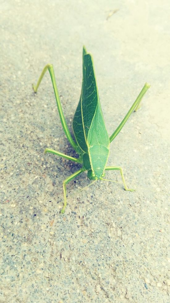 Locust Locustpose Nature Plant Growth No People Green Color Close-up Fragility Taking Photos Indiaphotography Check This Out Eye4photography  EyeEm Best Shots Animal Wildlife India_clicks Eyeem India