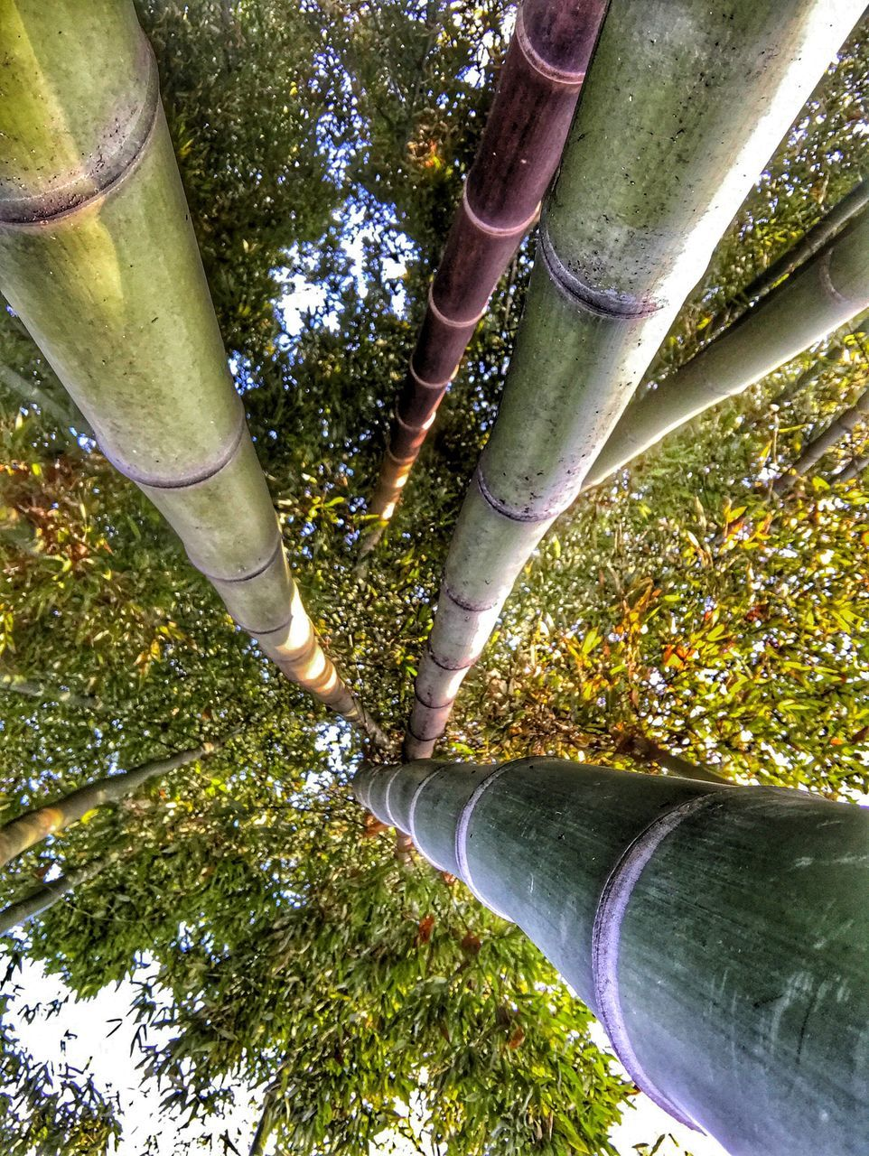 tree, green color, growth, no people, nature, day, bamboo grove, bamboo - plant, outdoors, forest, beauty in nature, close-up