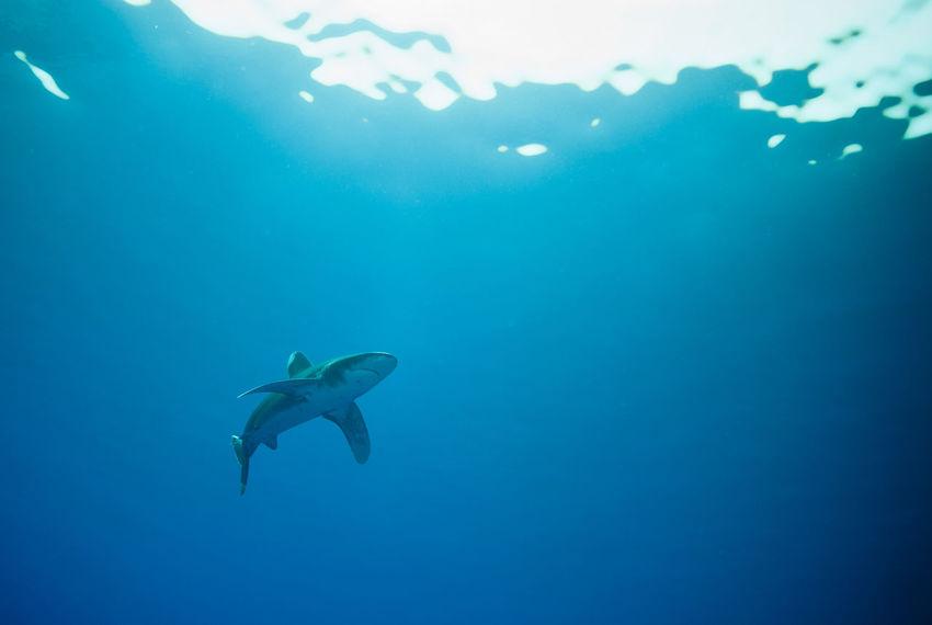Oceanic white tip shark Carcharhinus Longimanus Nature Ocean Oceanic Oceanic Shark Oceanic White Tip Shark Red Sea Sea Life Shark Surface UnderSea Underwater Water