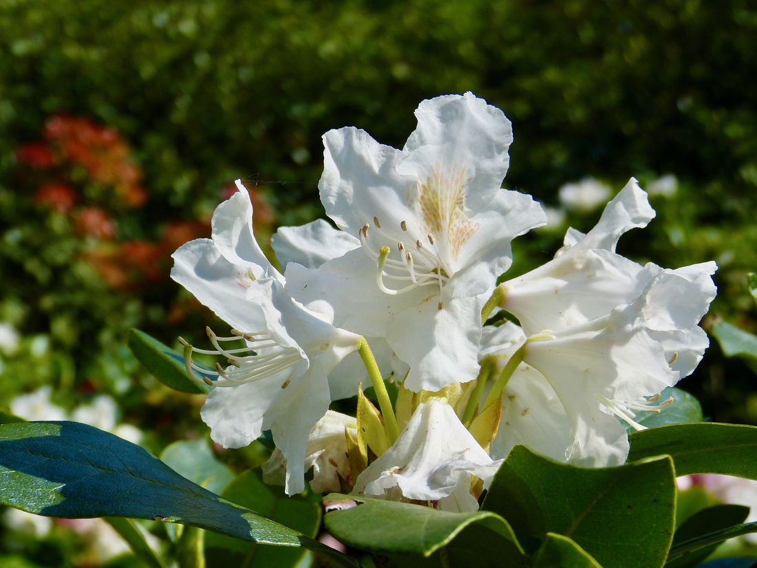 rhododrendron blooming in white - weißblühemder Rhododendron Beauty In Nature Blooming Close-up Day Eye4nature EyeEm Nature Lover Flower Flower Head Freshness Growth Leaf Nature No People Outdoors Petal Plant Rhododendron Rhododendronblpte White Color White Rhododendron
