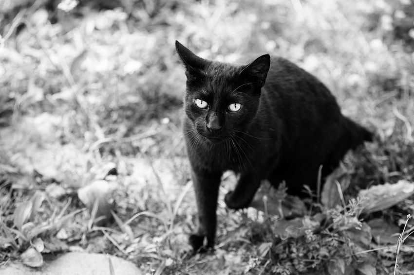 I named him a Stalker ! Of course for his stalking qualities :)) Cat Black Cat EyeEm Best Shots - Black + White EyeEm Nature Lover Black&white Nature_collection From My Doorstep Monochrome EyeEm Best Shots EyeEm Gallery