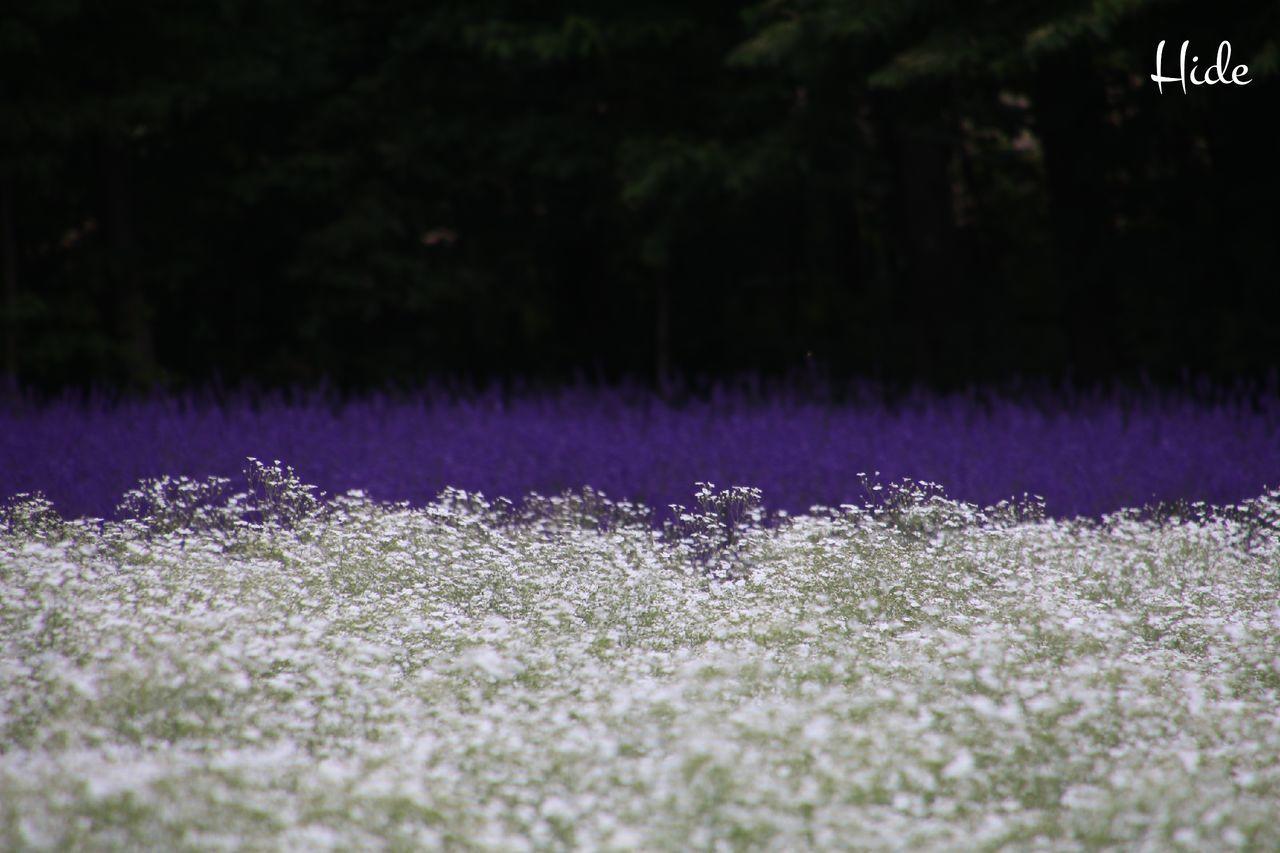 富良野 ファーム富田 ラベンダー畑 花 Flowers ラベンダー Lavender カスミソウ Furano Colour Of Life