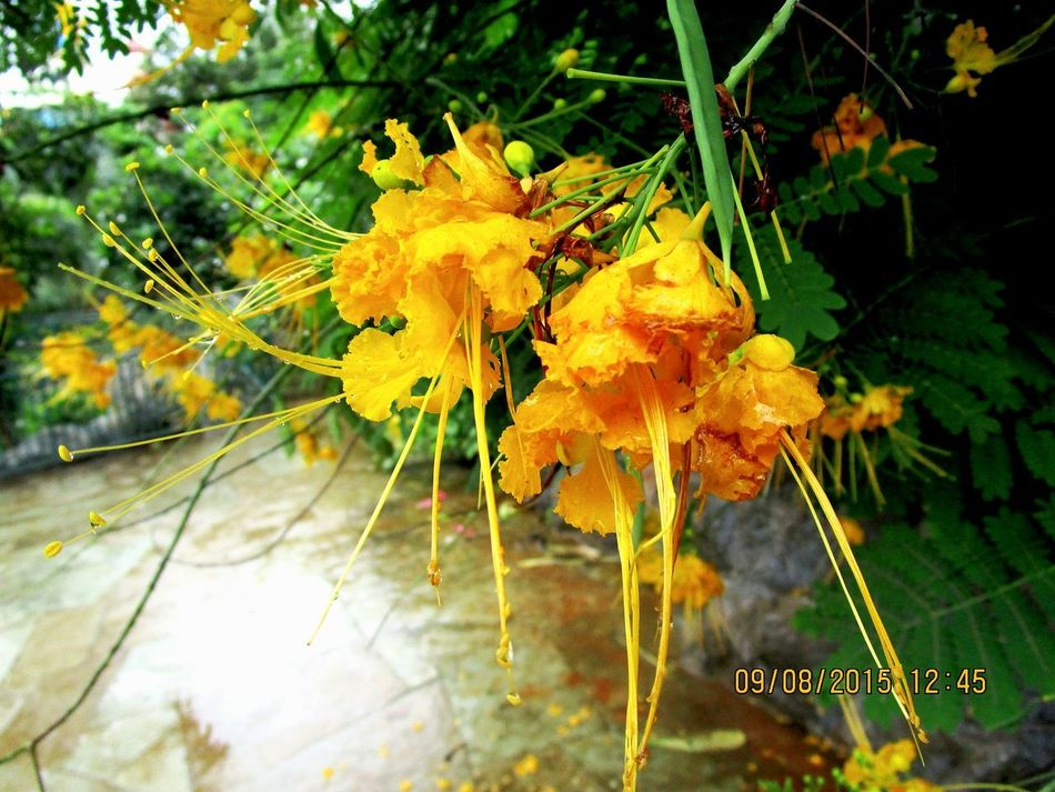 Yellow Nature Outdoors Flower Beauty In Nature Freshness Pune_instagrammers Puneclickarts Punediaries Flowerporn Flower Collection Canonixus Canon_photos Yellowflower💛 Yellow Flowers