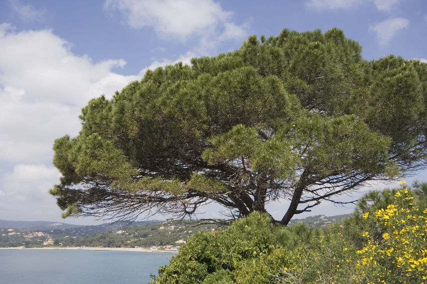 stone pine on the coast of the mediterranean sea - french riviera Bay Beach Beauty In Nature Côte D'Azur Flora France Growth Gulf Of Saint-tropez Mediterranean  Mediterranean Sea Nature No People Pinaceae Pine Pine Tree Saint-Tropez Scenics Seascape Spring Stone Pine Tranquil Scene Tranquility Tree Umbrella Pine Umbrella Pine Tree