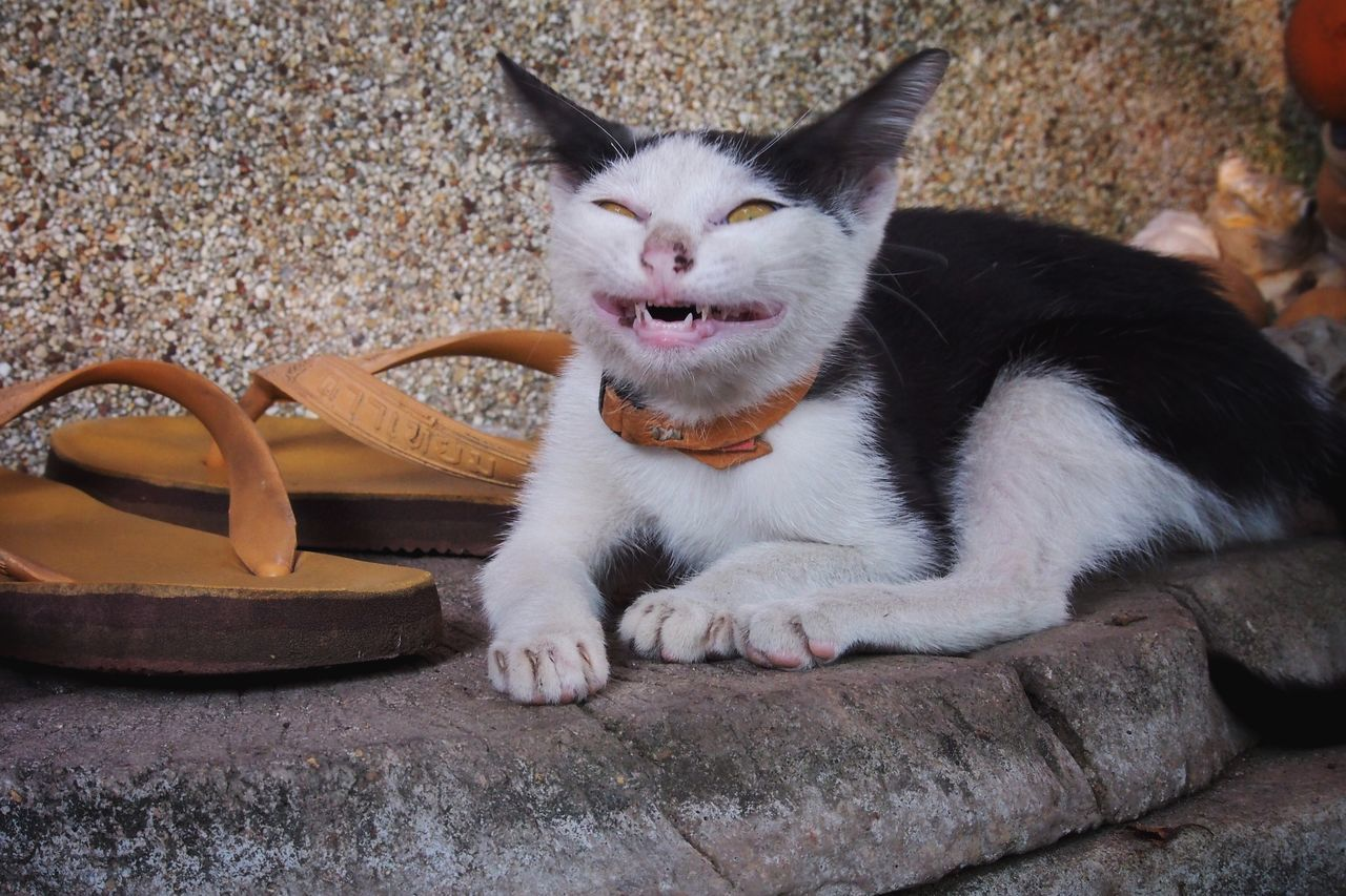 One Animal Pets Domestic Animals Animal Themes Domestic Cat Mammal No People Indoors  Day Smiling Scary Cat Scary Smile