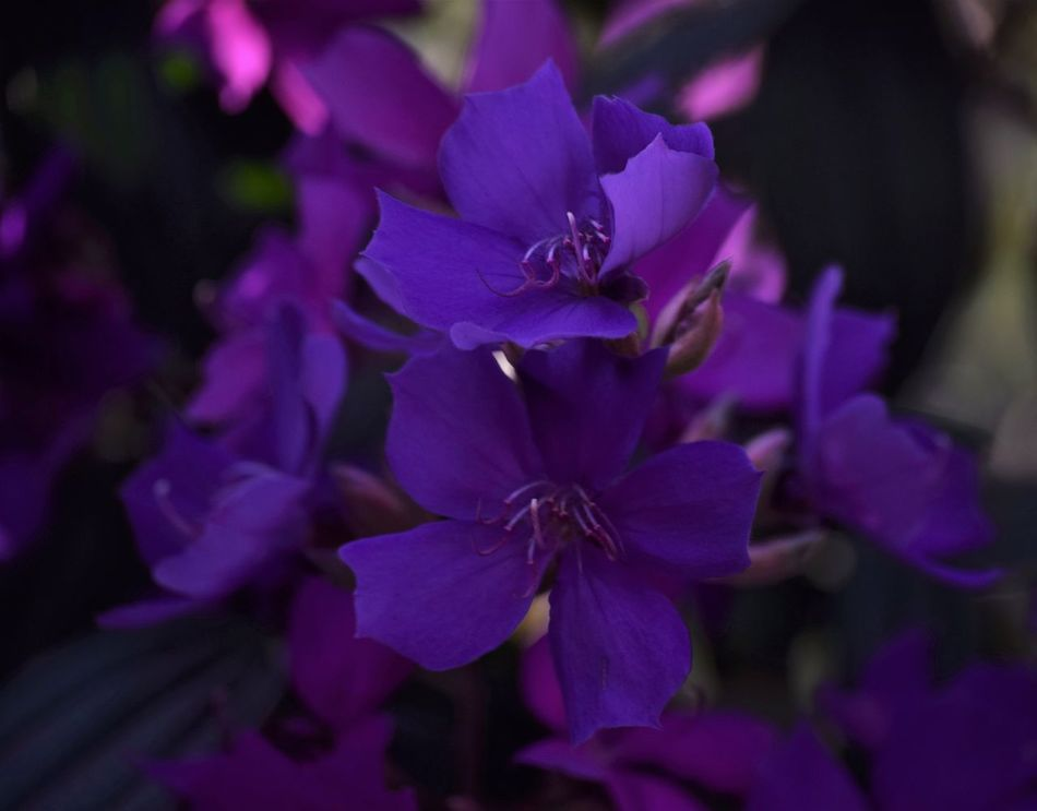 Beauty In Nature Deep Purple EyeEm Nature Lover Flower Flowers