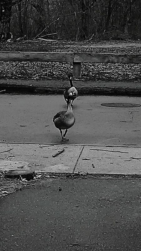 Check This Out Enjoying Life Taking Photos Bird Watching Simple Photography Coolpic Simplicity Bird Photography Geese Photography Black And White Photography