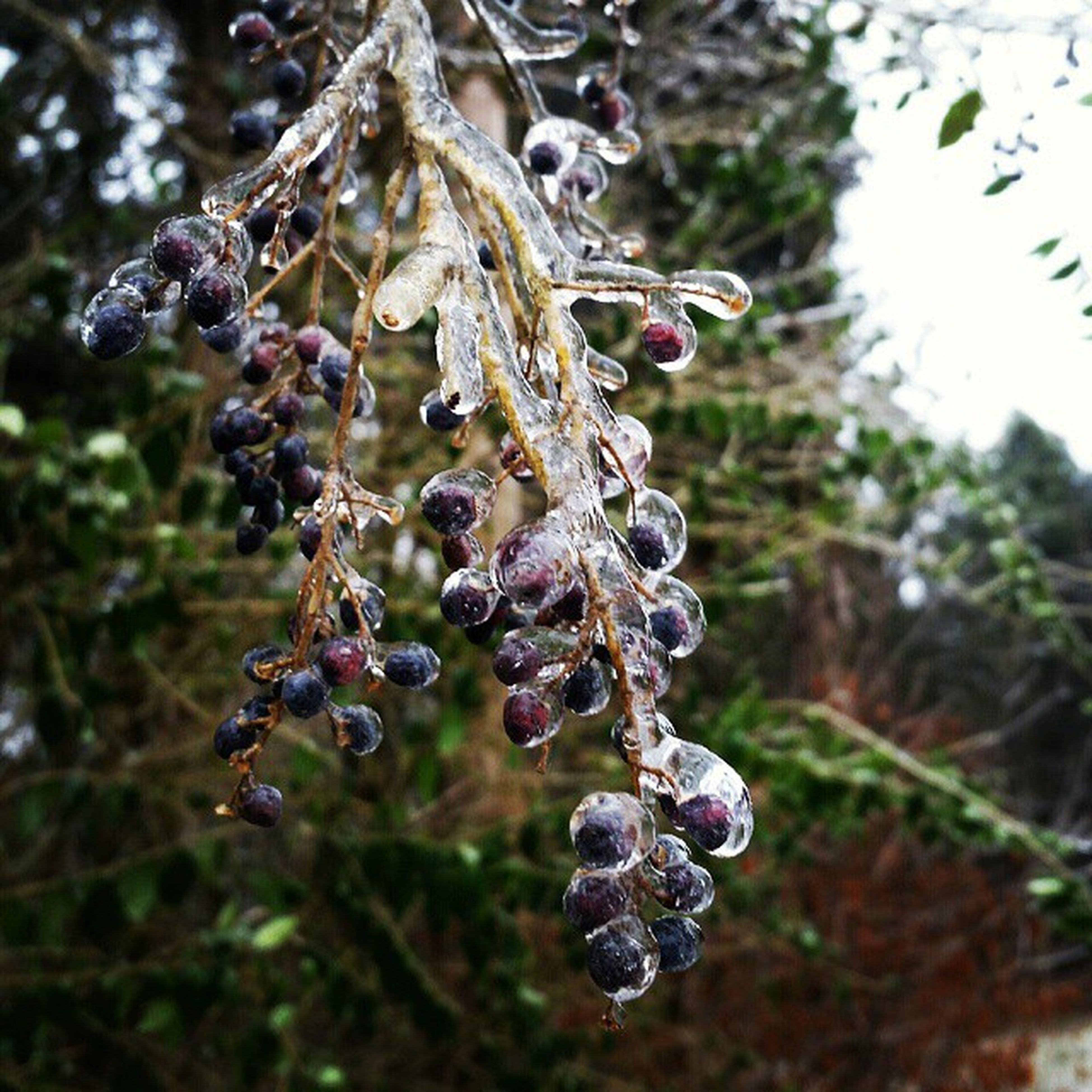 close-up, focus on foreground, growth, nature, cold temperature, winter, frozen, drop, plant, hanging, branch, tree, water, beauty in nature, selective focus, fragility, day, wet, season, outdoors