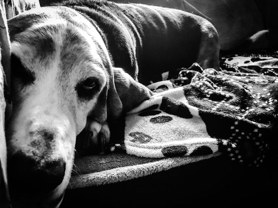 A dreaming doggie Domestic Animals Dog Pets Bassethound Close-up Relaxation Blackandwhite Photography Upclose And Personal Bassetmoments Bassethoundadventures Iphonephotography Bassethoundsare Best Ilovemybassethounds Lying Down One Animal Looking At Camera Seniorhoundsrock