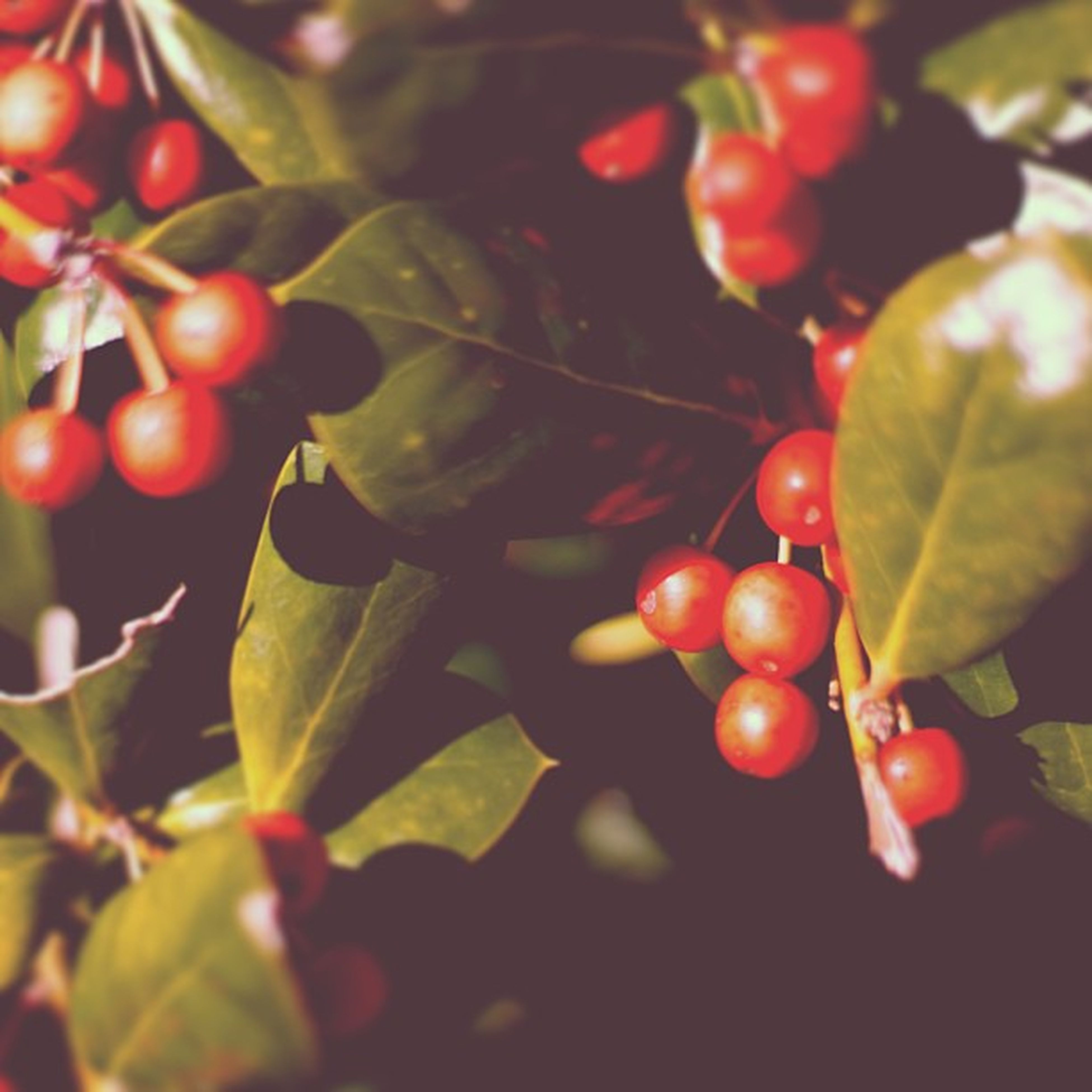 red, fruit, food and drink, leaf, food, freshness, growth, healthy eating, tree, close-up, branch, hanging, ripe, cherry, nature, focus on foreground, berry fruit, green color, day, berry