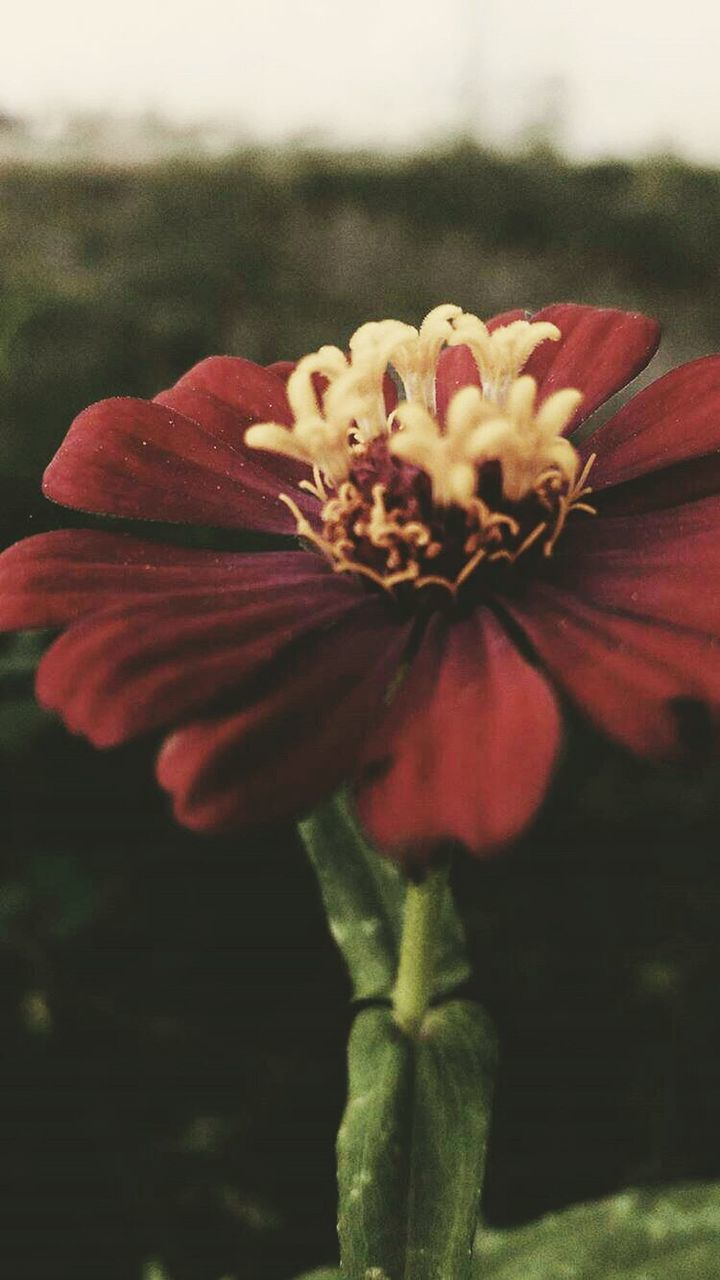 flower, petal, fragility, flower head, nature, growth, beauty in nature, plant, freshness, focus on foreground, pollen, close-up, red, no people, blooming, outdoors, day, hibiscus, zinnia