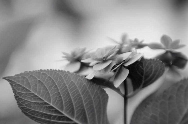 BW Collection Monochrome Blackandwhite EyeEm Gallery Bw_collection Black & White Pentax Oldlens Pentax K-5 Jupiter9 Flowerporn Flower Photography