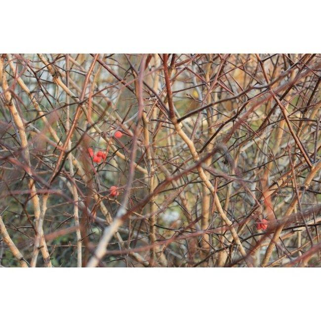 Волчья ягодка Autumn  паркколоменское Iloverussia Inmsk