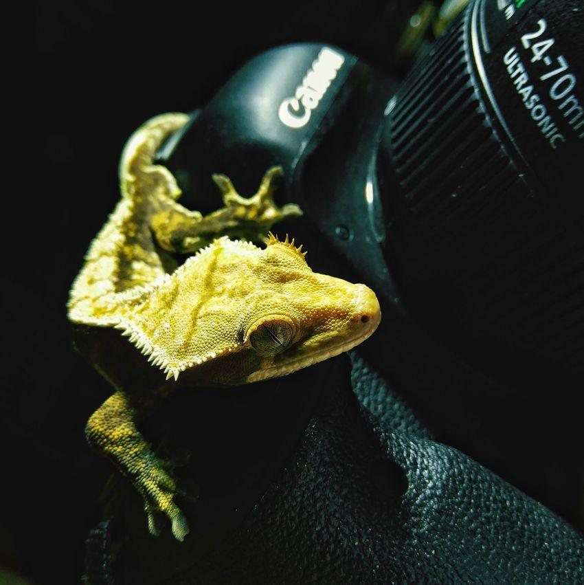 Gecko Eye Rhacodactylus Ciliatus Geckolove Gecko