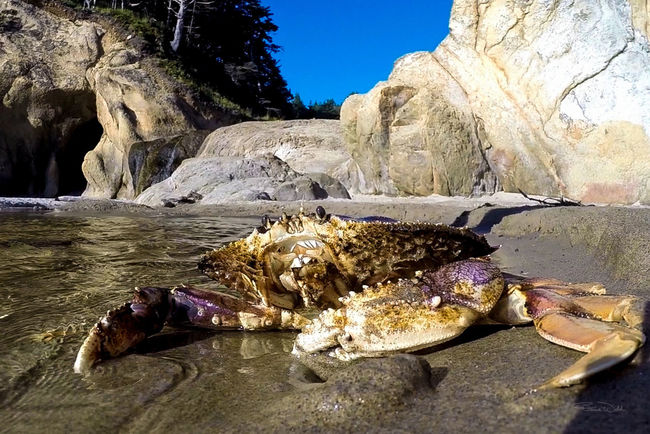 Live Dungeness Crab on Beach. Gopro
