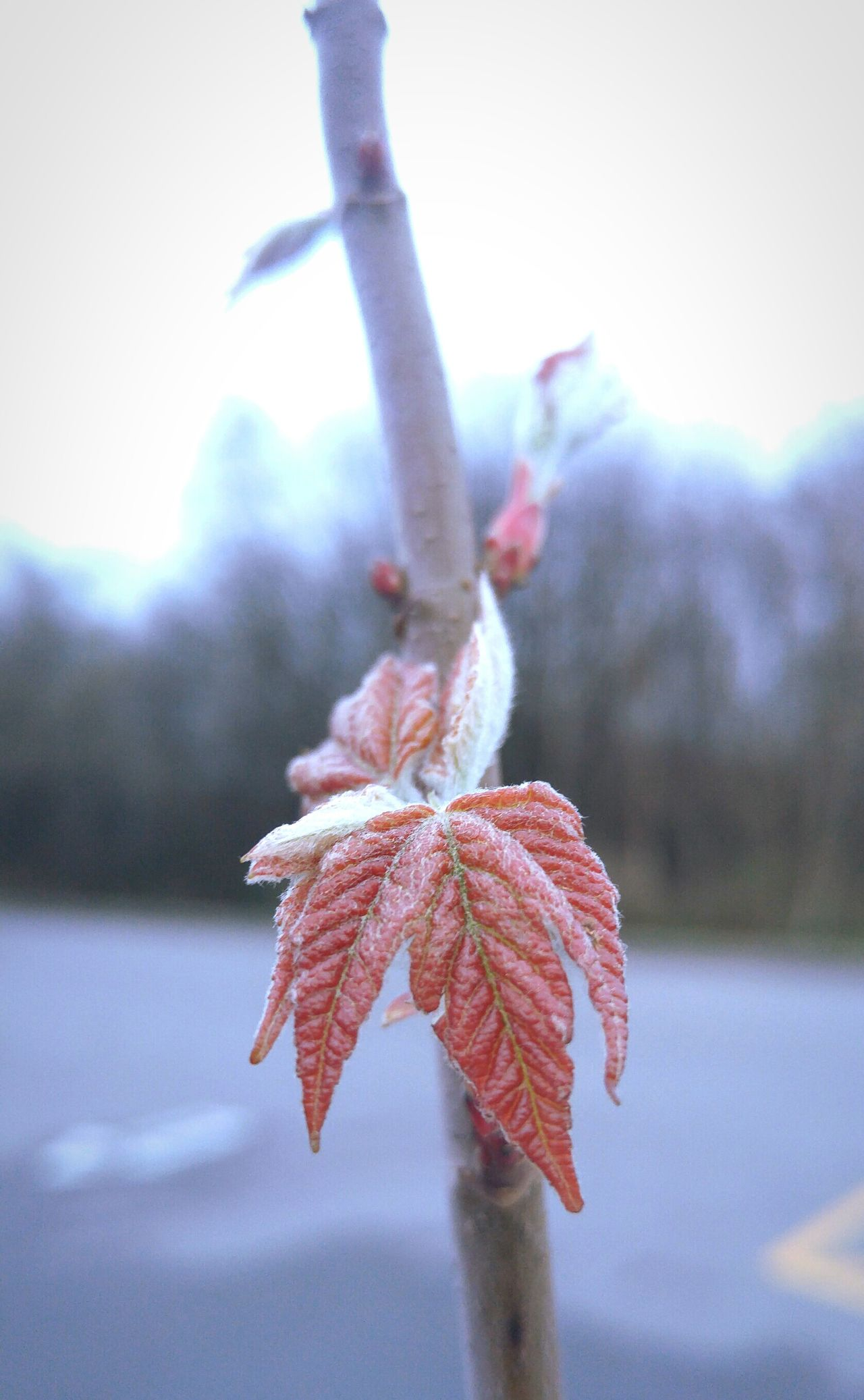 Nature Maple Mapleleaf Tree Maple Tree Outdoors Springtime New Life Fresh Spring Garden Plant Fwjphotos LGG4 Lgg4photography Nature Photography Garden Photography